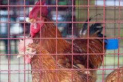 Gevogelte bij landbouwbedrijf Stock Foto