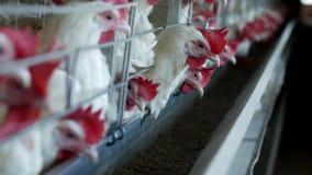 Gevogeltelandbouwbedrijf voor het fokkenkippen en eieren, kippen die voer, close-up, fabriekskippen, kippenboerderij pikken stock videobeelden
