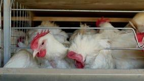 Gevogeltelandbouwbedrijf voor het fokkenkippen en eieren, kippen die voer, close-up, fabriekskippen, kippenproductie pikken stock videobeelden