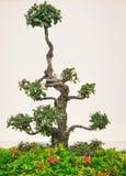 Gevormde bonsaiboom Stock Afbeeldingen