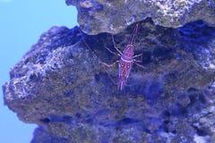 Gevormde Marine Crayfish of Garnalen Stock Afbeelding
