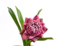 Gevouwen roze die lotusbloembloemen op witte achtergrond worden geïsoleerd Stock Afbeeldingen