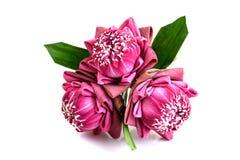 Gevouwen roze die lotusbloembloemen op witte achtergrond worden geïsoleerd royalty-vrije stock afbeelding