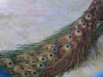 Gevouwen schilderachtige pauwstaart op een kleurenvloer Geplaatste diagonaal stock foto's