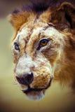 Gevulde leeuw in een museum Stock Fotografie