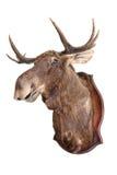 Gevulde wilde elanden Stock Afbeeldingen