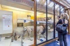 Gevulde wilde kattenvertoning binnen het Biologiemuseum stock foto's