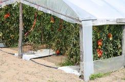 Gewächshaus für die Bearbeitung von roten Tomaten Lizenzfreie Stockfotos