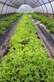 Gewächshaus gepflanzt mit Salat Stockfotografie
