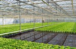 Gewächshaus mit Kopfsalat lizenzfreie stockfotos