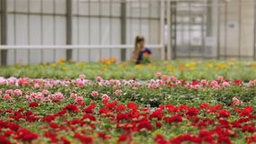 Gewächshausarbeitskraft, die für Blumen, Arbeitsfluß im Gewächshaus für wachsende Blumen, ein großes modernes Gewächshaus sich in stock video footage