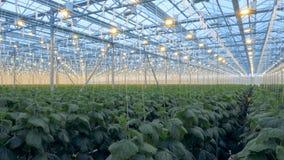 Gewächshauslampen sind auf Gurkenanlagen für bessere Bearbeitung glänzend 4K stock video