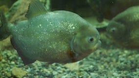 Gewöhnliche Piranhas sind Spezies von räuberischen Fischen stock footage