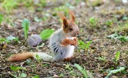 Gewöhnliches Eichhörnchen oder Wanze lat Sciurus gemein stockbild