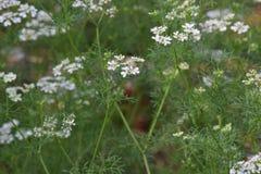 Gewürz /herb der Schafgarbe mit dem weißen Blütenwachsen Stockbild