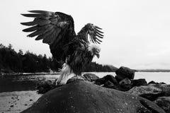 Gewaagd Eagle met Uitgespreide Vleugels royalty-vrije stock fotografie