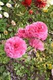 Gewaagde en mooie roze bloem Stock Foto's