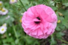 Gewaagde en mooie roze bloem Royalty-vrije Stock Afbeeldingen