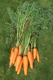 Gewaschene Karotten mit Oberteilen von einem Gartenbett auf einem grünen Gras Lizenzfreies Stockbild