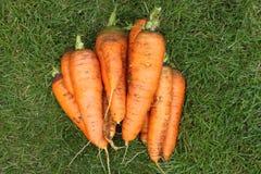 Gewaschene Karotten ohne Oberteile von einem Gartenbett auf einem grünen Gras Stockbilder