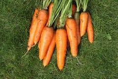 Gewaschene Karotten von einem Gartenbett auf einem grünen Gras Stockbild