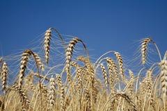 Gewassen voor de oogst stock foto