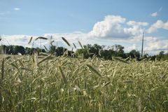 Gewassengebied in een zonnige de zomerdag stock afbeelding