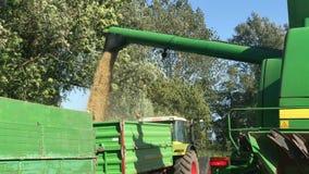 Gewassenoogst op een korrelgebied bij blauwe hemel stock video