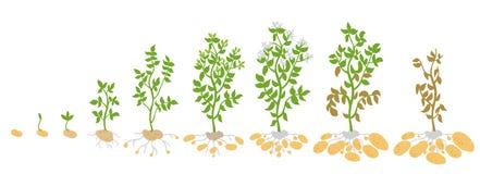 Gewassenstadia van aardappel Vectorillustratie het groeien installaties De het levenscyclus De biologie van de oogstgroei Solanum royalty-vrije illustratie