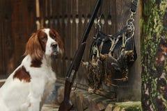 Gewehrhund nahe zur Schrotflinte und zu den Trophäen Stockbild