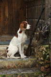 Gewehrhund nahe zur Schrotflinte und zu den Trophäen Stockbilder