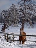Geweidetes Pferd im Schnee Stockfoto
