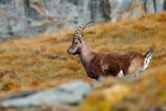 Geweih-alpiner Steinbock, Caprasteinbock, Tier mit farbigen Felsen im Hintergrund verkratzend, Tier im Naturlebensraum, Frankreic Stockbilder