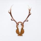 Geweihe eines enormen Hirsches auf weißer Wand Stockbild