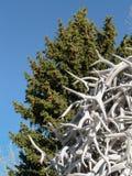Geweihe und Nadelbäume Lizenzfreie Stockfotografie