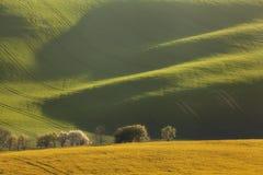 Gewellte Grünfelder Sonnige Hügel des gestreiften Rollens bei Sonnenuntergang Lizenzfreies Stockbild