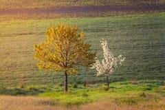 Gewellte Grünfelder Sonnige Hügel des gestreiften Rollens bei Sonnenuntergang Stockbild
