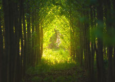 Gewellte Grünfelder Sonnige Hügel des gestreiften Rollens bei Sonnenuntergang Lizenzfreie Stockfotos