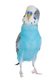 Gewellter Papagei Lizenzfreies Stockfoto