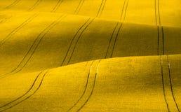 Gewelltes gelbes Rapssamenfeld mit Streifen Ländliche Landschaft des Kordsamtsommers in den gelben Tönen Stockbild