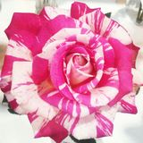 Gewervelde bloem Royalty-vrije Stock Fotografie