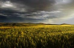 Gewitter-Weizen Stockfoto