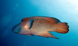 Gewond napoleonfish Royalty-vrije Stock Afbeeldingen