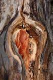 Gewonde boomboomstam stock afbeeldingen