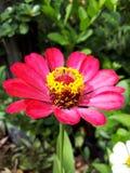 Gewone bloem stock afbeelding