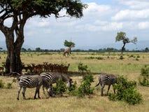 Gewone dag in Afrikaanse savanne, Tanzania, het Nationale Park van Ruaha Royalty-vrije Stock Foto's