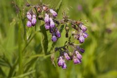 Gewone Smeerwortel, Common Comfrey, Symphytum officinale royalty free stock photo