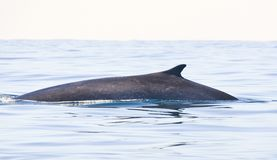 Gewone vinvis, Fin whale, Balaenoptera physalus. Gewone vinvis; Fin whale royalty free stock photo
