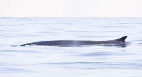 Gewone vinvis; Fin whale; Balaenoptera physalus. Gewone vinvis; Fin whale royalty free stock images