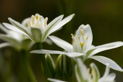 Gewone vogelmelk, Star-of-Bethlehem, Ornithogalum umbellatum royalty free stock images